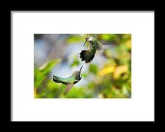 Hummingbirds Ensuing Battle Framed Print By Christina Rollo