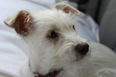 Dandy is an adoptable West Highland White Terrier Westie Dog in minneapolis, MN. This little guy is had a hard start so he's a little shy at first but he's really coming our of his shell and beginning...