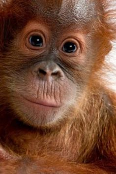 6 Ways to Avoid Palm Oil: Why palm oil is bad for you and bad for endangered orangutans
