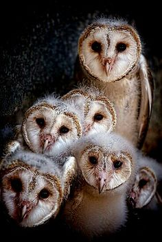 Barn Owls by Pene Stevens. Makes me think of that Guardian owl movie! Beautiful Owl, Animals Beautiful, Beautiful Family, Owl Bird, Pet Birds, Baby Barn Owl, Barn Owls, Bird Barn, Baby Animals