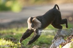 Photo : Lion-tailed Macaque jumping