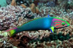 Rainbow or Turkish Wrasse. I saw these or similar snorkelling in the Dodecanese Islands. Pretty Fish, Cool Fish, Beautiful Fish, Saltwater Aquarium Fish, Saltwater Tank, Underwater Creatures, Ocean Creatures, Beautiful Sea Creatures, Animals Beautiful