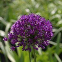 Allium hollandicum 'Purple Sensation'  Star of Persia - 2 litres http://www.wyevalegardencentres.co.uk/