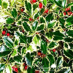 Ilex aquifolium ' Argenteomarginata' - Magyal