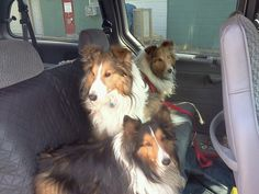 Some of our front staff in our office. Sebastian, Dash and Lexus. These 3 shelties are from The Sheltie Shack Rescue Center in Kansas. If you would like to adopt a precious please contact me at 316-772-1439. Save a pet today.
