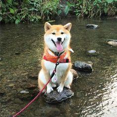 Esse Shiba que conseguiu subir numa pedra, mas não vai entrar na água de jeito nenhum. Então ele vai morar na pedra. Vai ser tipo um novo estilo de vida.
