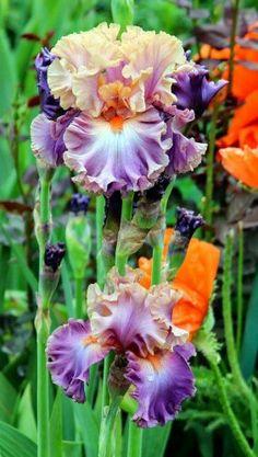 Iris 'Photogenic' via World of Irises