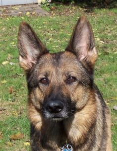 Does your dogs color affect his health???    http://www.examiner.com/article/the-gsd-breed-does-color-affect-health