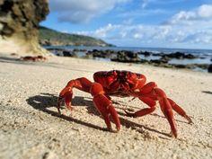 Gecarcoidea natalis  El cangrejo rojo es originario de la Isla Navidad, en Australia, y no se encuentra en ningún otro lugar del planeta. Pero en su tierra natal es una especie muy importante, alrededor de 120 millones de individuos cubren la base de la selva tropical y desempeñan un papel crucial en la determinación estructural del ecosistema. Crab Mentality, Crabs, Lobsters, Forest Floor, Cocos Island, Christmas Island, Adorable Animals, Oslo, Tasmania