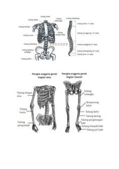 skeletal system  u2013 labeled diagrams human skeleton  the