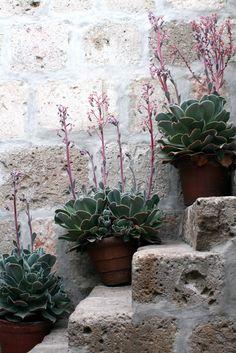 three Succulents in Pots