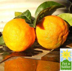 Bitterorangen - nicht so schön, Namensgeber für die ach so ungeliebte Orangenhaut - aber leckerst für Orangenmarmelade. Februar/Márz zu bestellen bei www.fetasoller.com