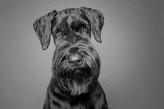 Why by Square Dog Photography #Schnauzer