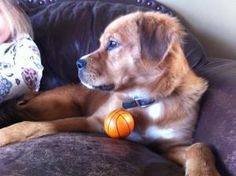 Ginger is an adoptable Spaniel Dog in Knoxville, TN.   Meet Ginger, a sweet golden retriever mix with the cutest little face and beautiful soft red coat.  Only one year old, she was brought in as a 's...
