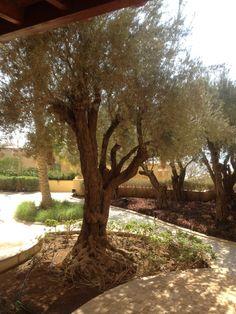 living olive tree @  Dead sea Jordan.