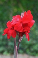 Canna lilies require careful pruning to maintain their attractivness.