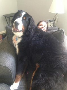 This is a Bernese mountain dog. The average height of a male is 26 inches and his average weight is 100 pounds.