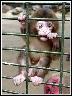 """What you lookin' at, Red Faced Monkey?"" asks little Willis. Why are you biting that fence?"