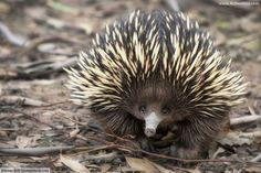 Echidna facts, information, pictures & video. Echidnas are shy, egg-laying mammals. Read everything you need to know about these awesome Australian animals. Animal Facts For Kids, Animals For Kids, Cute Baby Animals, Animals And Pets, Echidna Puggle, Reptiles, Mammals, Lizards, Nature