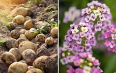 Companion Gardening potatoes and sweet alyssum Container Vegetables, Planting Vegetables, Growing Vegetables, Container Gardening, Vegetable Gardening, Veggie Gardens, Growing Plants, Veggies, Organic Gardening