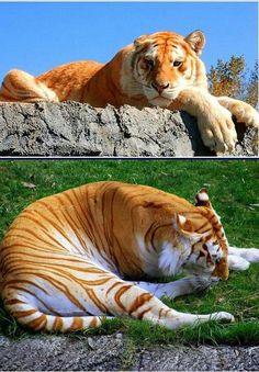 Hobbs    Golden Tiger | A golden tabby tiger is one with an extremely rare color variation caused by a recessive gene and is currently only found in captive tigers.