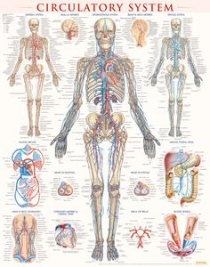 CIRCULATORY SYSTEM Beautifully detailed poster of the circulatory system designed to be beneficial reference for doctors or medical students. #circulatorysytem #doctor #medicalstudent
