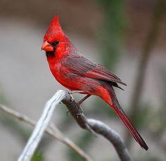 Hidden Unseen: Top 10 Most Beautiful National Birds Cardinal Bird, USA All Birds, Love Birds, Pretty Birds, Beautiful Birds, Bird Pictures, Cardinal Pictures, Parus Major, Backyard Birds, Backyard Ideas