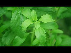 Stevia - Las increíbles Propiedades de la Stevia. Stevia Rebaudiana.