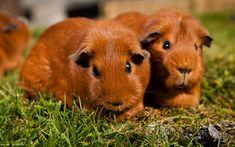 Lataa kuva marsu, 4K, ruskea jyrsijät, söpöjä eläimiä, lemmikit, ruskea marsu