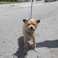 Miami Fl Yorkie Yorkshire Terrier Meet Luke A Dog For Adoption Yorkshireterrier Yorkshire Terrier Terrier Yorkie
