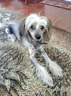 Cute Cats And Dogs, Animals And Pets, Cute Animals, Hairless Animals, Chinese Crested Hairless, Chinese Crested Powder Puff, Paw Tattoos, Gypsy Jazz, Animal Attack