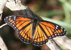 Kentucky State Butterfly - Viceroy Butterfly