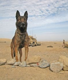 Lex L479 and his handler would go to sleep in the foxholes they shared while on patrol in Afghanistan. Soon after his handler fell asleep, the Belgian Malinois would crawl out from their tarp-covered foxhole and stand guard over him through the night, often in torrential rains. Wow God Bless Both.....
