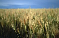 Winter Wheat In Linn, Kansas by Joel Sartore
