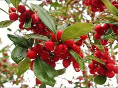 East Palatka Holly care and propagation information