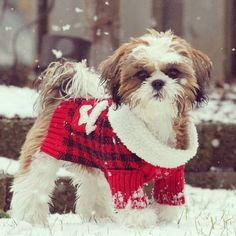 Isn't he the cutest winter tzu ever!? Spread the Shih Tzu love by visiting my fanpage: www.facebook.com/ilovmyshihtzu
