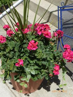 Geraniums on the way to see Big Red