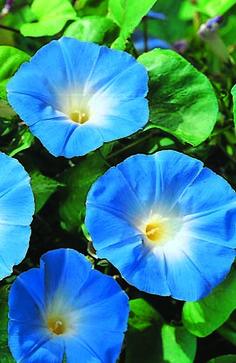 Høyde: 300 cm Blomstringstid: Juni - oktober Tidspunkt for såing: Mars - april Antall frø i pakken: 45 stk.  Spektakulære, blomster som gir oppmerksomhet til din hage. Disse plantene har store klare, fantastiske himmelblå blomster. En energisk plante som elsker å klatre opp espalier og gjerder.