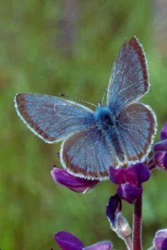 Fenders butterfly