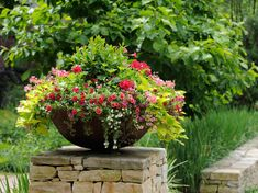 Container Garden of small privet shrub surrounded by colorful flowers. From top right-pink Bower vine, red geranium, small pink wild Columbine, lime green potato vine, trailing Petunias and white Bacopa
