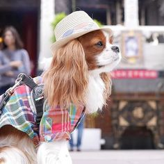 More About Smart Cavalier King Charles Spaniel Personality Cavalier King Charles Spaniel, King Charles Puppy, Dog Love, Puppy Love, Roi Charles, Spaniel Dog, Beautiful Dogs, Cute Dogs, Cute Animals