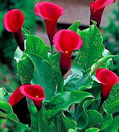 Zantedeschia Embers types and varieties. Zantedeschia Embers - planting, pruning, growing and cultivation. The Plant Encyclopedia Pictures Of Calla Lilies, Calla Lily Flowers, Calla Lillies, Exotic Flowers, Amazing Flowers, Love Flowers, Good Morning Rose Images, Zantedeschia, Blossom Garden