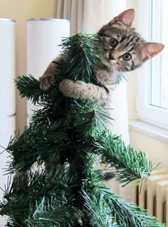 63 Ideas for funny cats christmas kittens Cat Christmas Tree, Christmas Kitten, Christmas Animals, Merry Christmas, Cute Kittens, Kittens And Puppies, I Love Cats, Crazy Cats, Tier Fotos