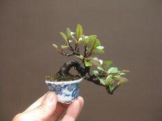 盆栽:黒松に飽きて、寒グミ|春嘉の盆栽工房