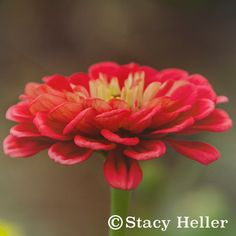 Flower Photography Macro Photography Color by StacyHellerFineArt