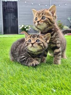 Cats & Kittens, Rehome Buy and Sell | Preloved Tabby Kittens For Sale, Grey Tabby Kittens, Kitten For Sale, Unusual Animals, Scottish Fold, Animal Crafts, Pet Health, Pet Accessories, Animal Rescue