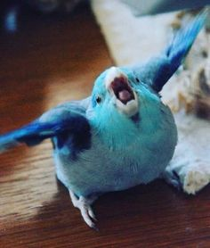 Things that make you go AWW! A place for really cute pictures and videos! Funny Birds, Cute Birds, Hamsters, Funny Animal Memes, Funny Animals, Budgies, Parrots, Cockatiel, Cute Baby Animals