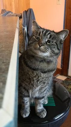 Such a funny expression on this tabby. Silly Cats, Crazy Cats, Cats And Kittens, Cute Cats, Animals And Pets, Funny Animals, Cute Animals, Funny Cat Memes, Funny Cats