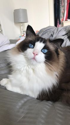 My sweet ragdoll looks good in any lighting tbh   cats funny pictures