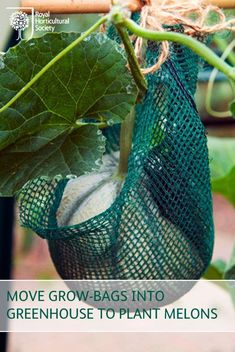 Move your growing-bags into the greenhouse to warm up two weeks before planting indoor melons, and water well two days before planting.